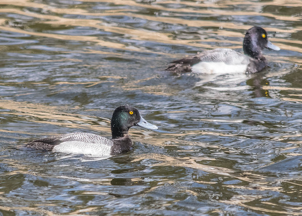 Greater Scaups on Millrace Canal Trail, Goshen, IN