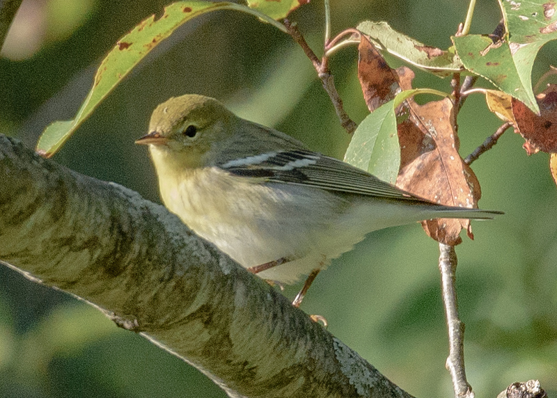 Blackpoll Warbler at Boot Lake Nature Preserve, Elkhart, IN