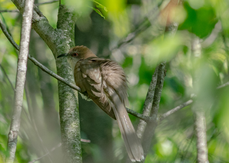 Black-billed Cuckoo at Boot Lake Nature Preserve, Elkhart, IN