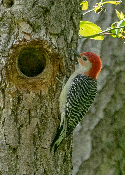 Red-bellied Woodpecker at Boot Lake Nature Preserve, Elkhart, IN