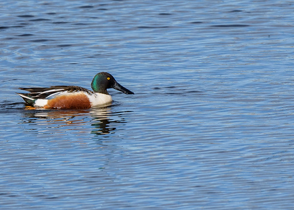 a male Northern Shoveler at Highland's Heron Rookery, Highland, IN