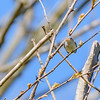 Blue-gray Gnatcatcher at Eagle Creek Park