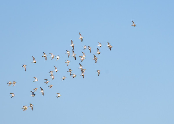 Pectoral Sandpipers in flight at Limberlost Swamp Wetland Preserve, Geneva, IN
