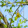 Blue-winged Warbler at Beanblossom Bottoms Nature Preserve