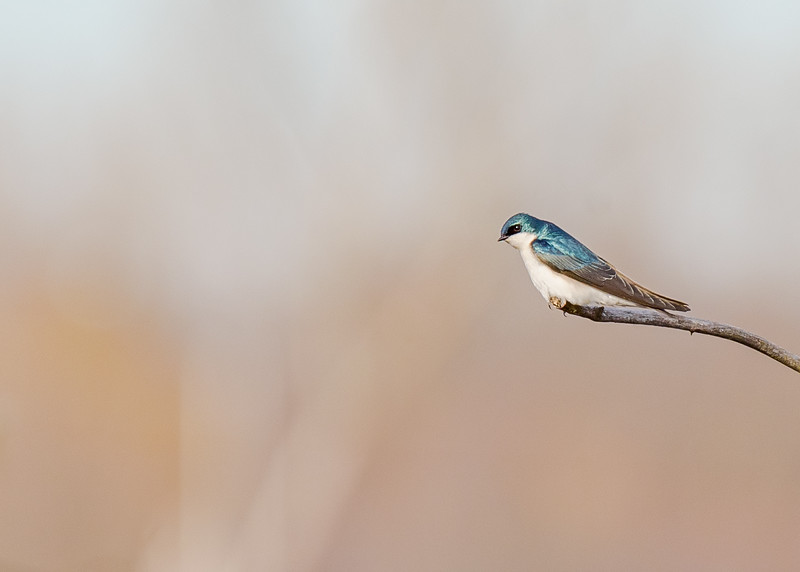 a Tree Swallow at Highland's Heron Rookery, Highland, IN