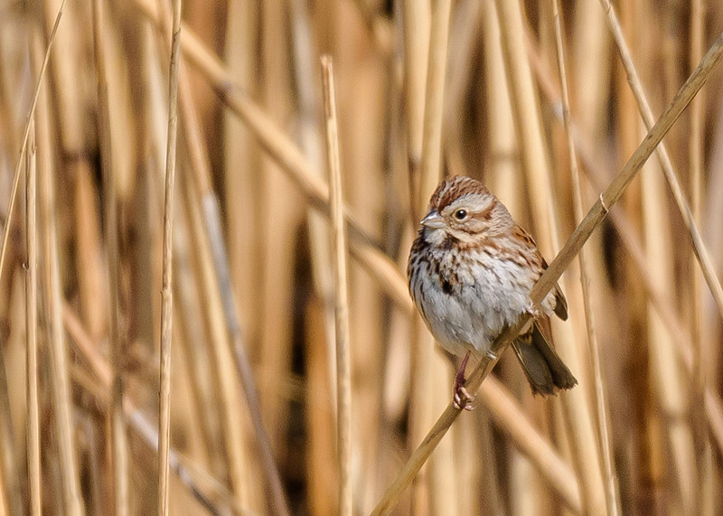 a Song Sparrow on the reeds at Grant St Marsh, Gary, IN