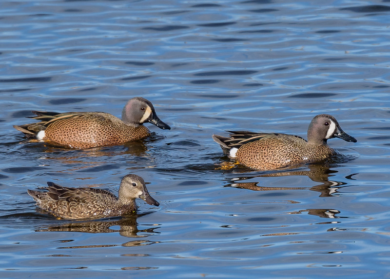 Blue-winged Teals at Highland's Heron Rookery, Highland, IN