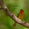 a 1st spring Summer Tanager at Eagle Creek Park