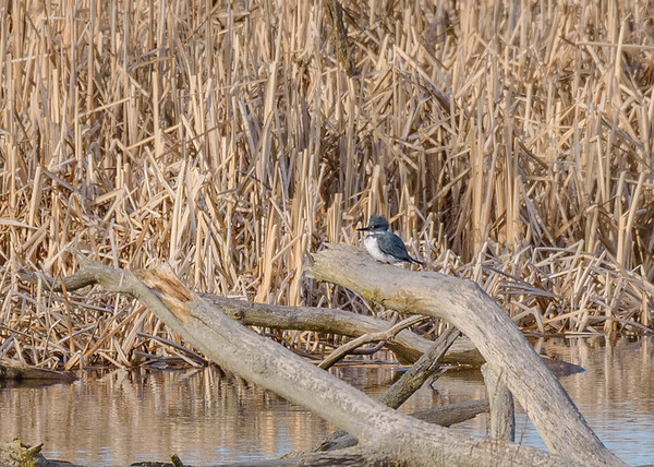 a male Belted Kingfisher at Highland's Heron Rookery, Highland, IN