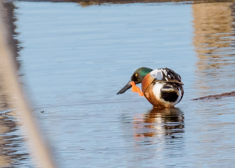 a Northern Shoveler satisyfing a itch at Highland's Heron Rookery, Highland, IN