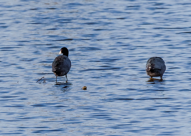 a rare view of American Coots out of water at Highland's Heron Rookery, Highland, IN