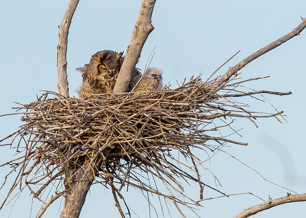 the Great Horned Owl along with owlets at Highland's Heron Rookery, Highland, IN
