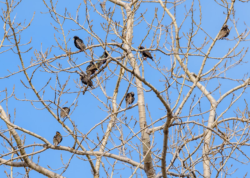 a flock of European Starlings at Grant St Marsh, Gary, IN