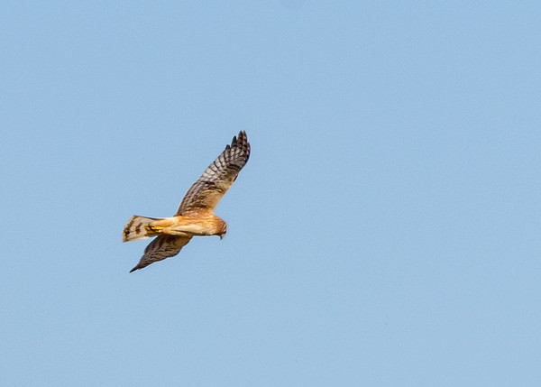 a female Northern Harrier in flight at Limberlost Swamp Wetland Preserve, Geneva, IN