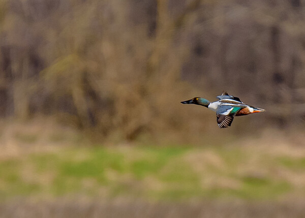 a male Northern Shoveler in flight at Limberlost Swamp Wetland Preserve, Geneva, IN