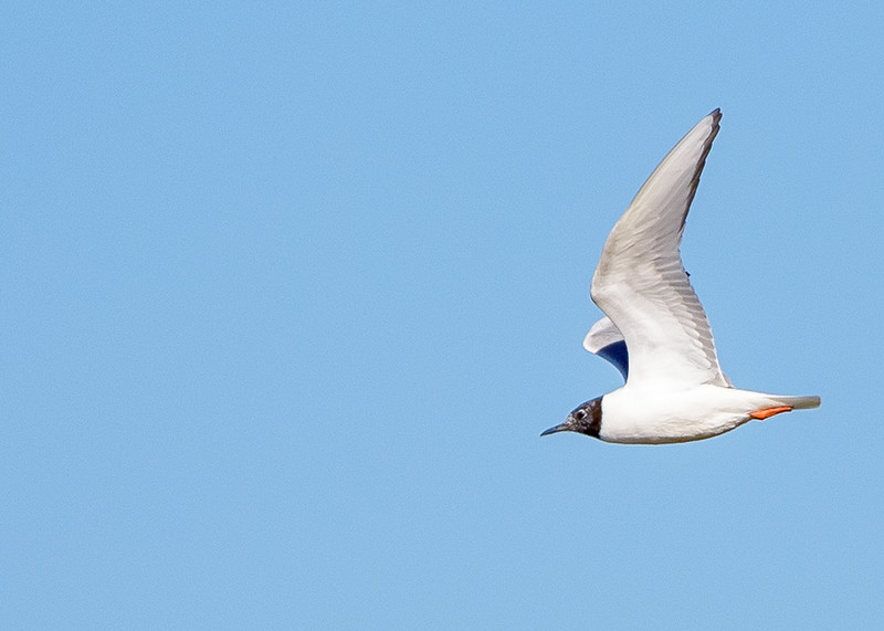 a Bonaparte's Gull in flight at Limberlost Swamp Wetland Preserve, Geneva, IN
