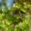 an Eastern Bluebird Grosbeak near Bedford, IN