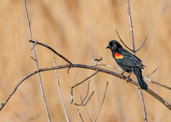 a male Red-winged Blackbird at Highland's Heron Rookery, Highland, IN