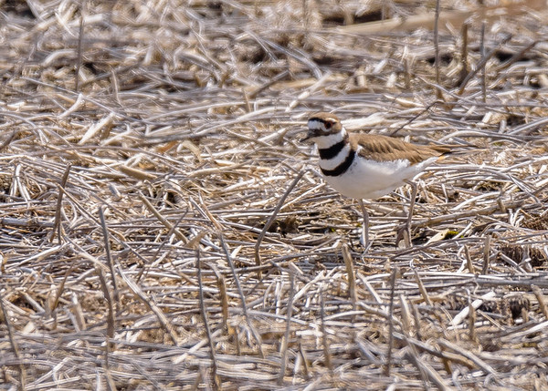 a Killdeer at Grant St Marsh, Gary, IN