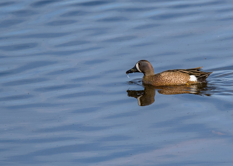 a male Blue-winged Teal at Highland's Heron Rookery, Highland, IN