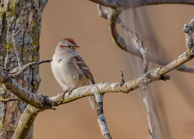 an American Tree Sparrow at Highland's Heron Rookery, Highland, IN
