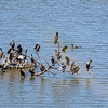 Double-crested Cormorants roosting at Eagle Creek Park