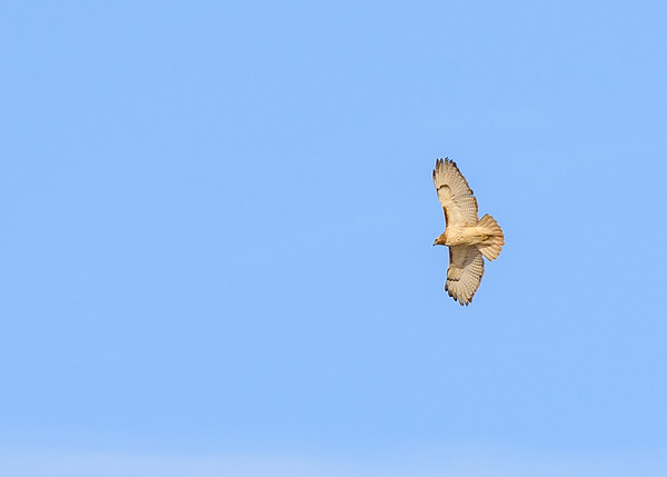 a Red-tailed Hawk in flight at Highland's Heron Rookery, Highland, IN