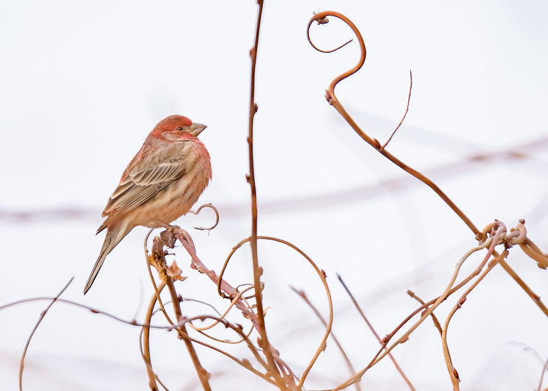 a House Finch at Fernwood Botanical Garden, Niles, IN