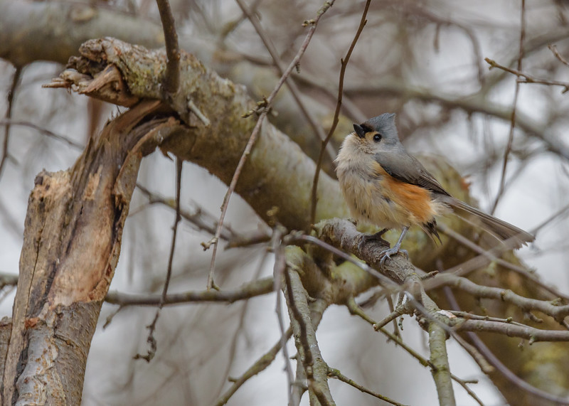 a Tufted Titmouse at Rum Village Nature Center, South Bend, IN
