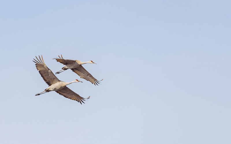 Sandhill Cranes in flight at Dick Blythe Wetland Conservation Area