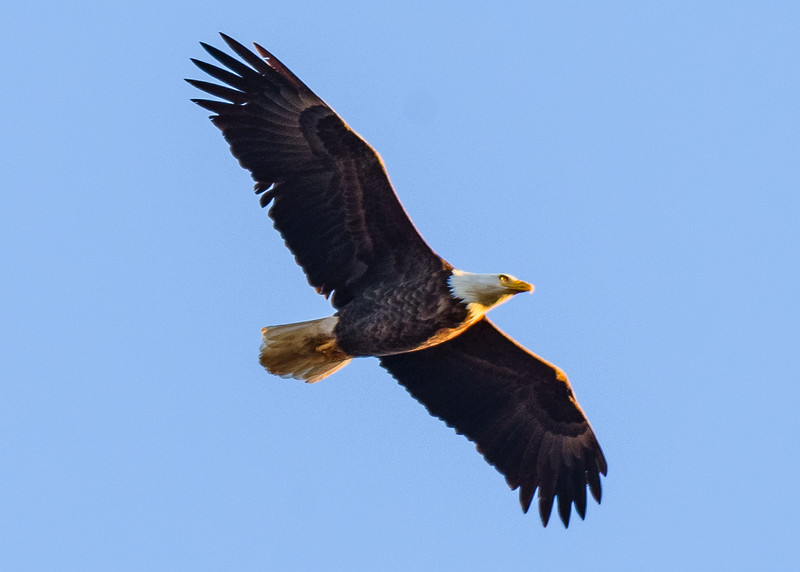 a Bald Eagle in flight near their roost near Mississinewa river