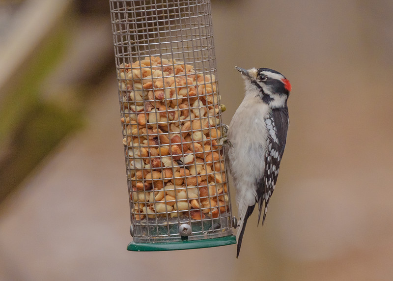 a Downy Woodpecker at the feeders of Fernwood Botanical Garden Nature Center, Niles, IN
