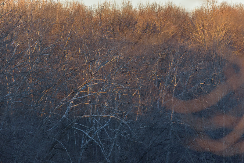 Bald Eagles on their roost near Mississinewa river