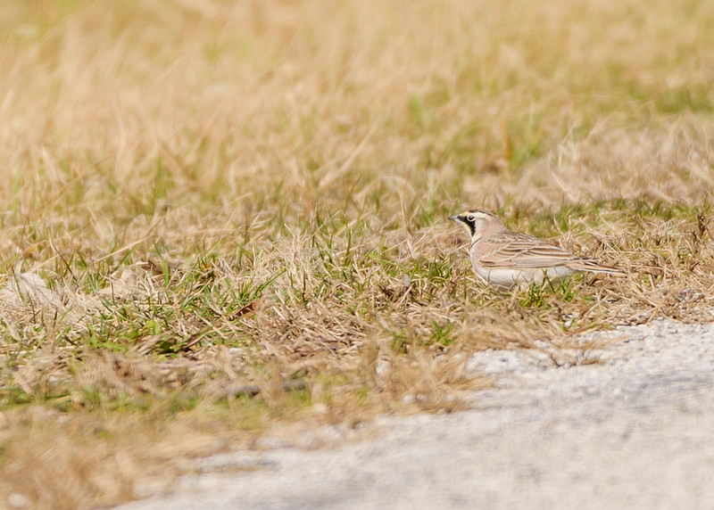 a Horned Lark near Salamonie Lake area