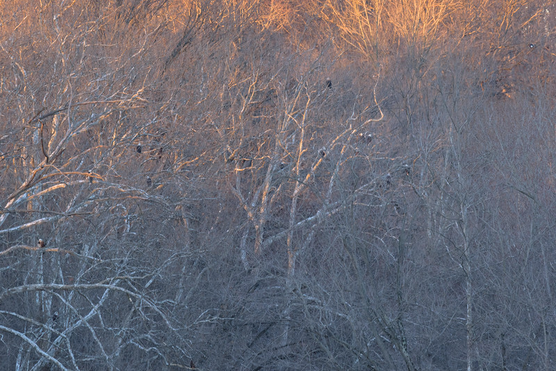 another view of Bald Eagles on their roost near Mississinewa river