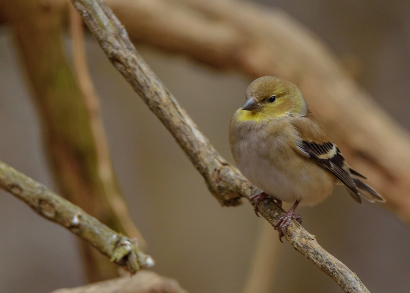 a American Goldfinch at Rum Village Nature Center, South Bend, IN