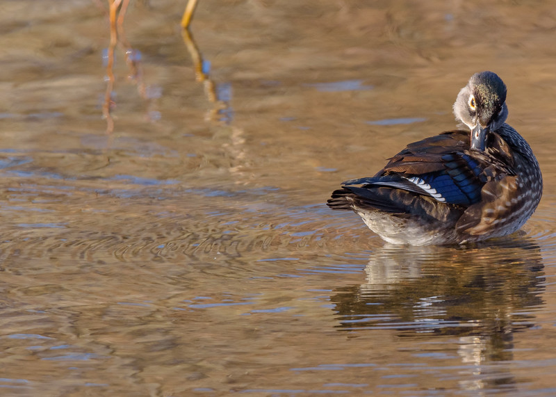 a Wood Duck on St. Joseph River on Riverside Trail of South Bend, IN