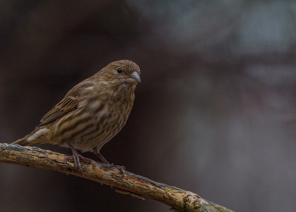 House Finch at Rum Village Nature Center, South Bend, IN