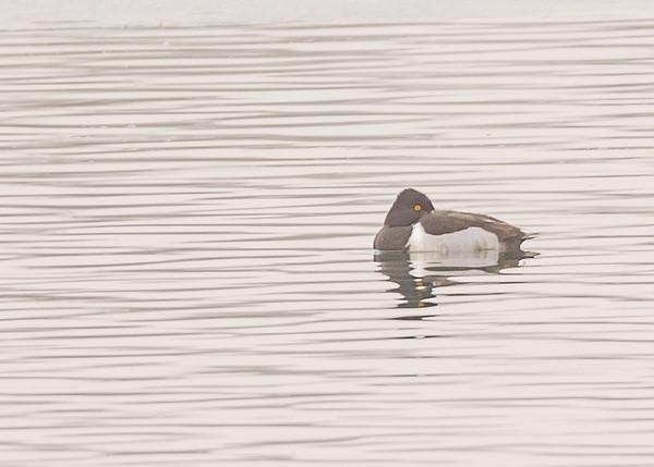 Ring-necked Duck at Fiddlers Pond, Goshen, IN