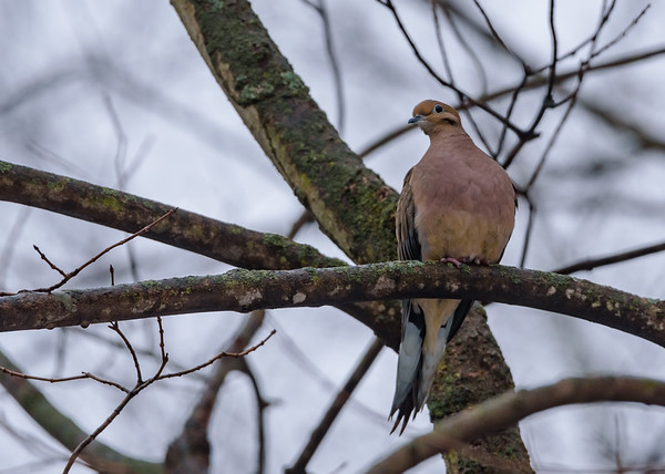Mourning Dove at Rum Village Nature Center, South Bend, IN