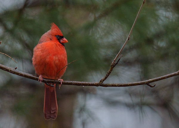 Northern Cardinal at Rum Village Nature Center, South Bend, IN