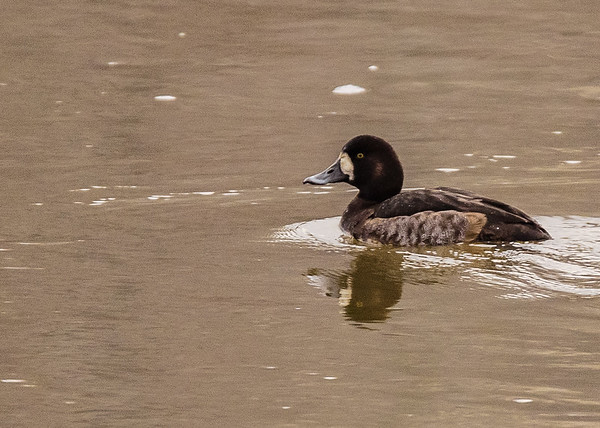 Greater Scaup on Riverside Trail, South Bend, IN