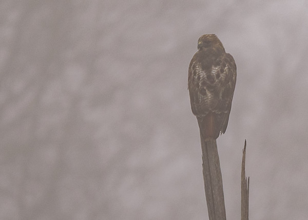 Red-tailed Hawk at Wakarusa, IN