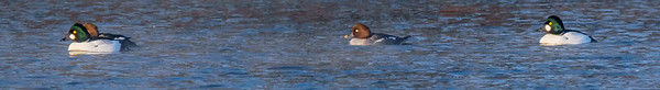 Common Goldeneye at St. Josephs Lake, Notre Dame, IN