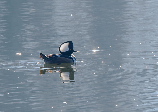 Hooded Merganser on Riverside Trail, South Bend, IN