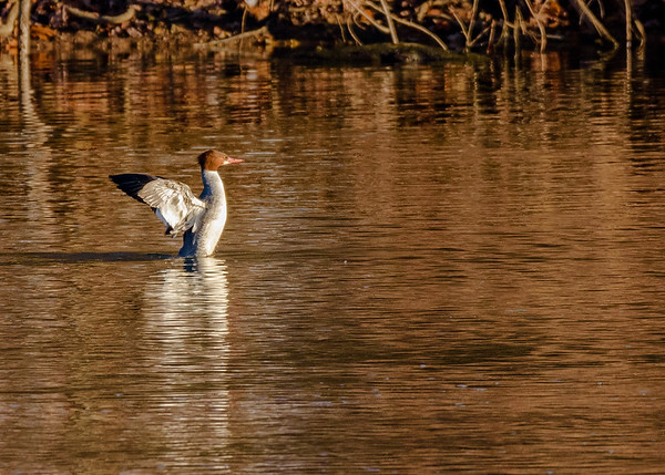 Common Merganser on Riverside Trail, South Bend, IN