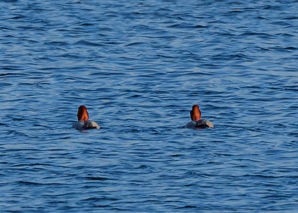 Redhead at Fiddlers Pond, Goshen, IN