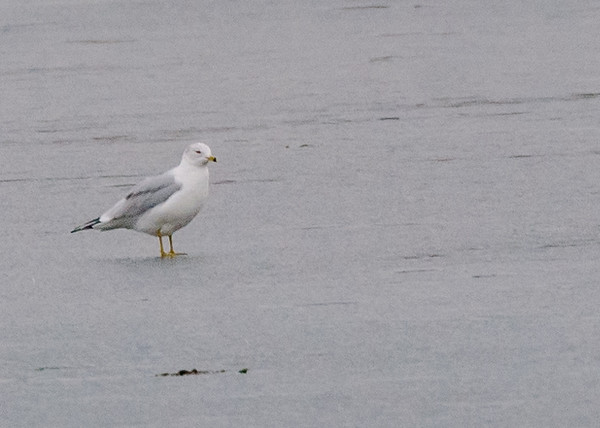 Ring-billed Gull at Fiddlers Pond, Goshen, IN