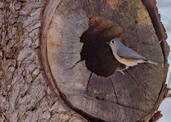 Tufted Titmouse at St. Josephs Lake, Notre Dame, IN