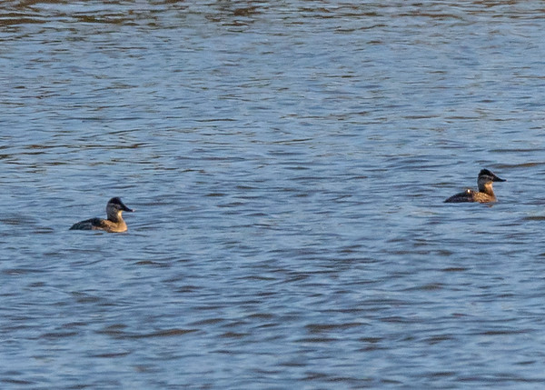 Ruddy Duck at Goshen Dam Pond, Goshen, IN